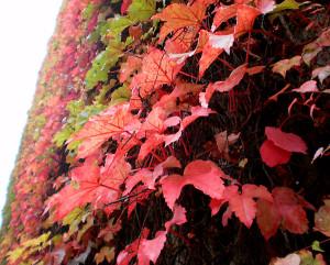 fall ivy - photo