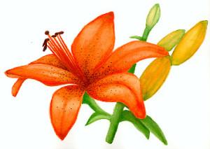 lily watercolour sketch