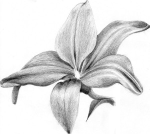 lily illustration graphite